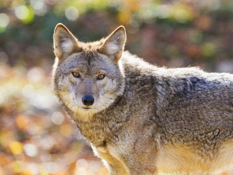 trapper says coyotes are attacking pets in decatur decatur ga patch