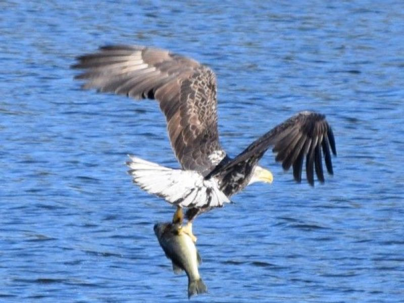 Learn About NJ Bald Eagles in Fair Haven Oct. 12 | Rumson, NJ Patch