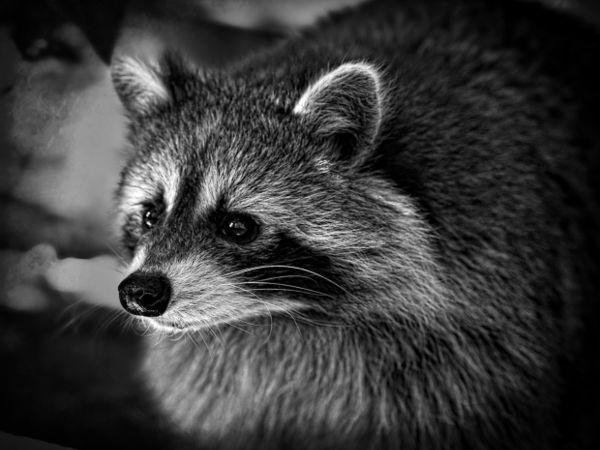 Raccoon With Rabies Found in Woodbridge This Week ... Raccoon With Rabies
