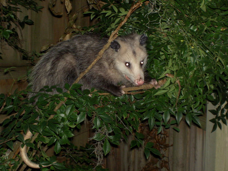 how to tell if a possum has rabies