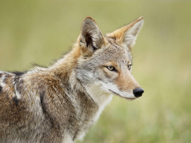 Coyote Sightings In Middletown In Late June  8f55bf6f8