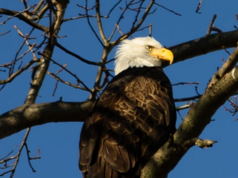 bald eagle endangered species essay