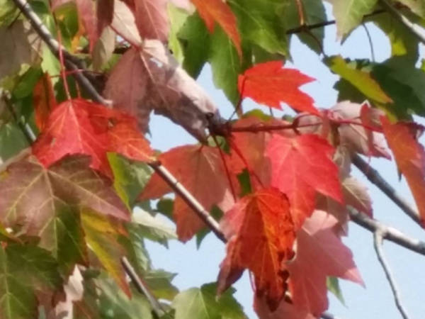 Leaf watch 2017 where when to see leaves change in for When will the leaves start changing 2017