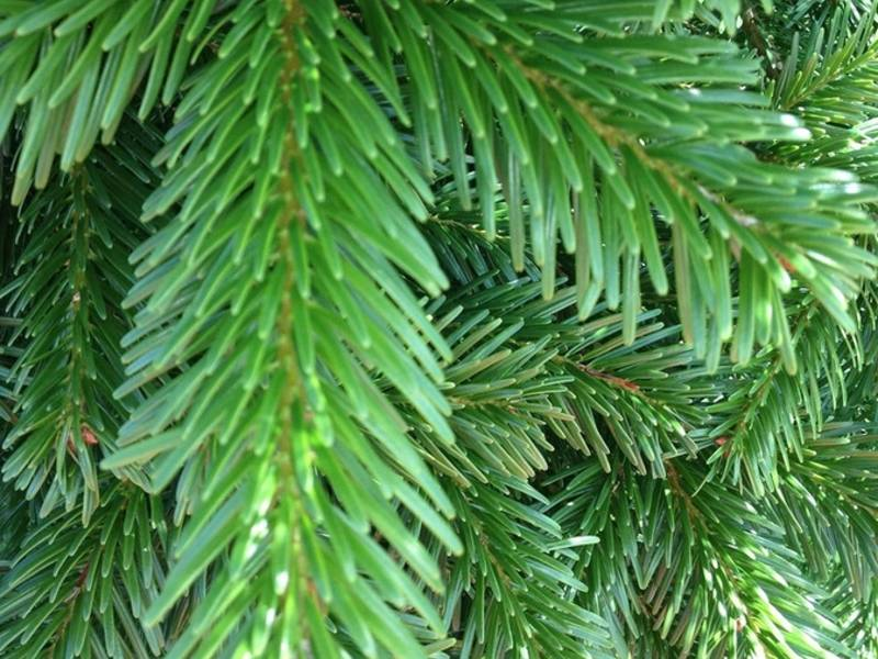 best christmas tree type tip from trinity christmas tree team - Best Christmas Tree Type