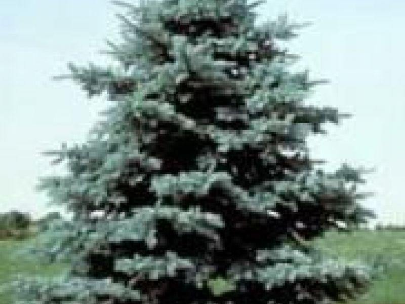 Christmas Tree Lynnfield Ma