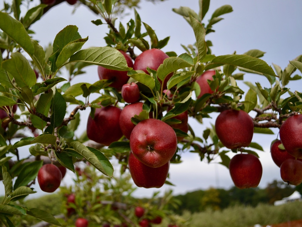 patch.com - MA Apple Picking 2018 Season: Pick Your Own Apple Orchards