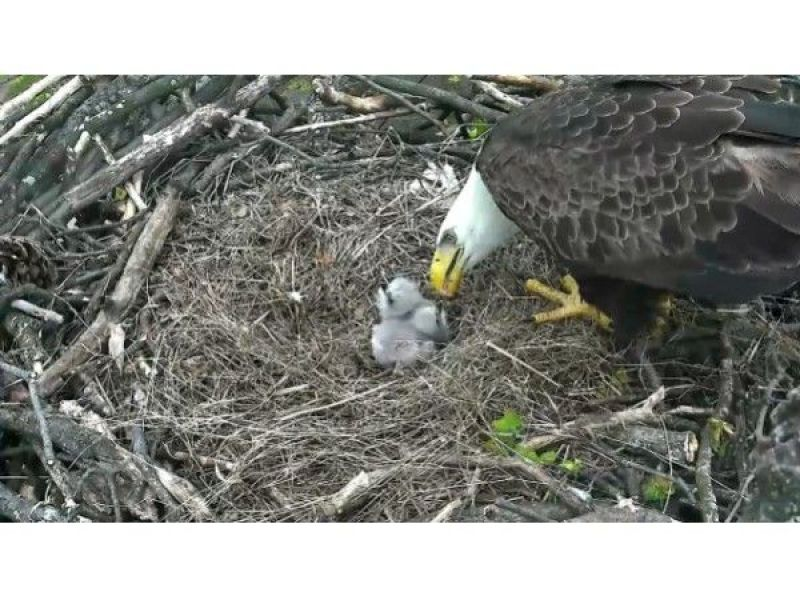 The DC Eagle Cam is Back, and it Has Sound Now ...