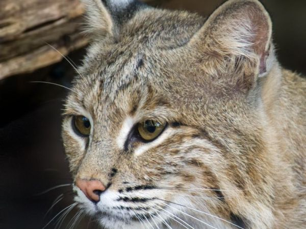 Ollie the Bobcat Hightailed It From the National Zoological Park
