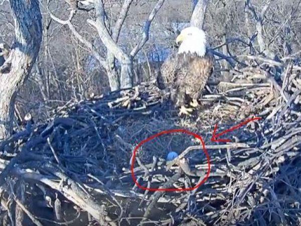 DC Eagle Cam 2017: Egg Spotted in Bald Eagle Nest ...