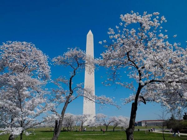 Cherry blossom watch: Weekend could bring cold weather, change in peak bloom