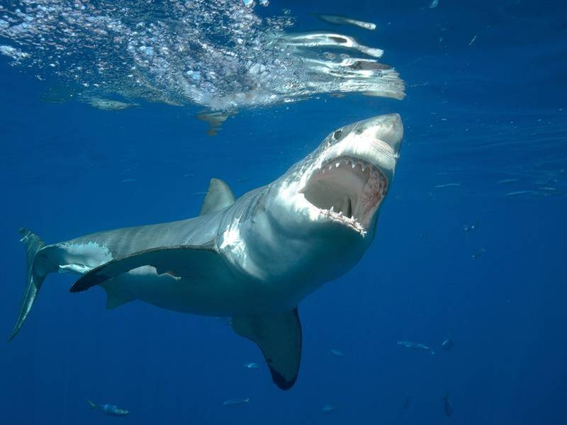 Leopard Shark Facts For Kids