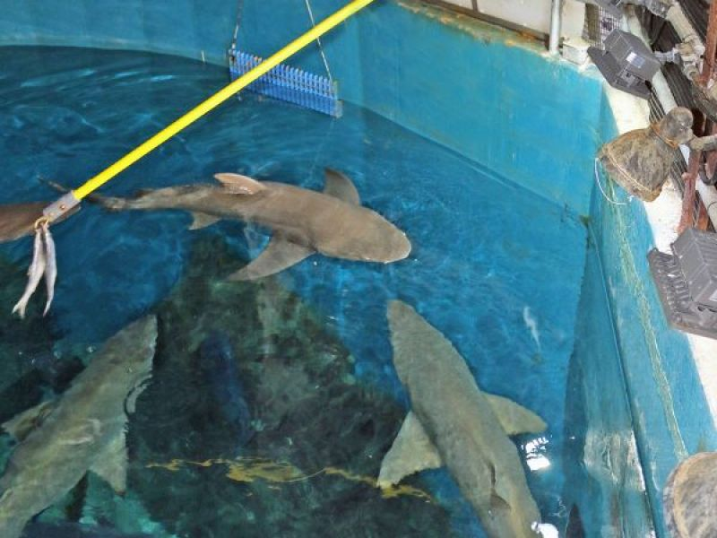Maritime Aquarium To Hold Special Shark Feeding Times Norwalk Ct Patch