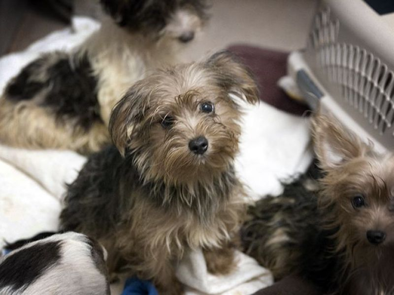 Gas Prices San Diego >> 80 Yorkies Now Available For Adoption: San Diego Humane ...
