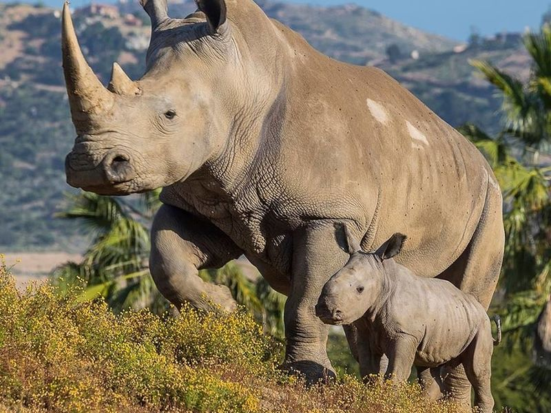 N White Rhino Meet SD Safari ...
