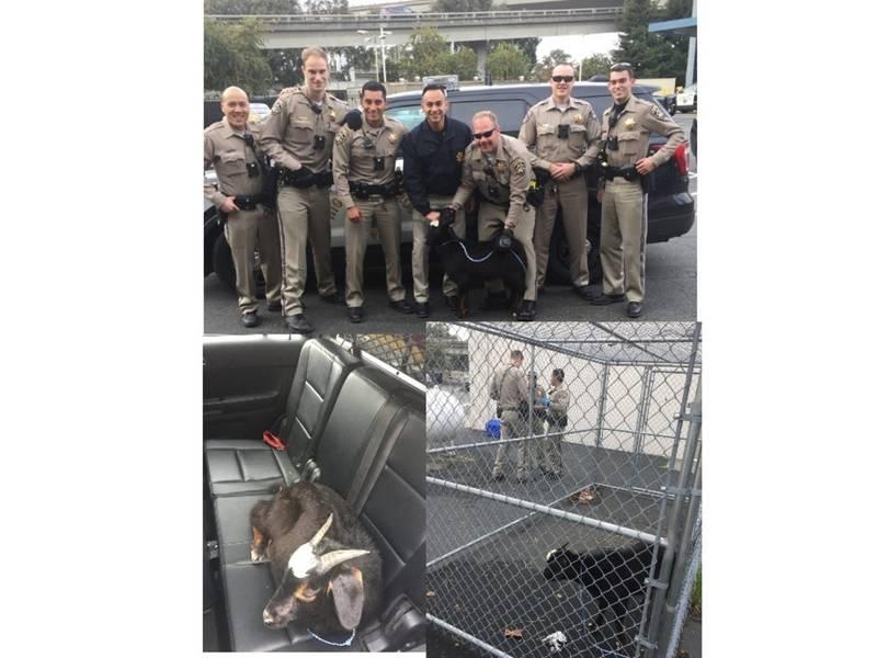 11c55aa24e794 Runaway Goat Zig-Zags Through I-880 Traffic