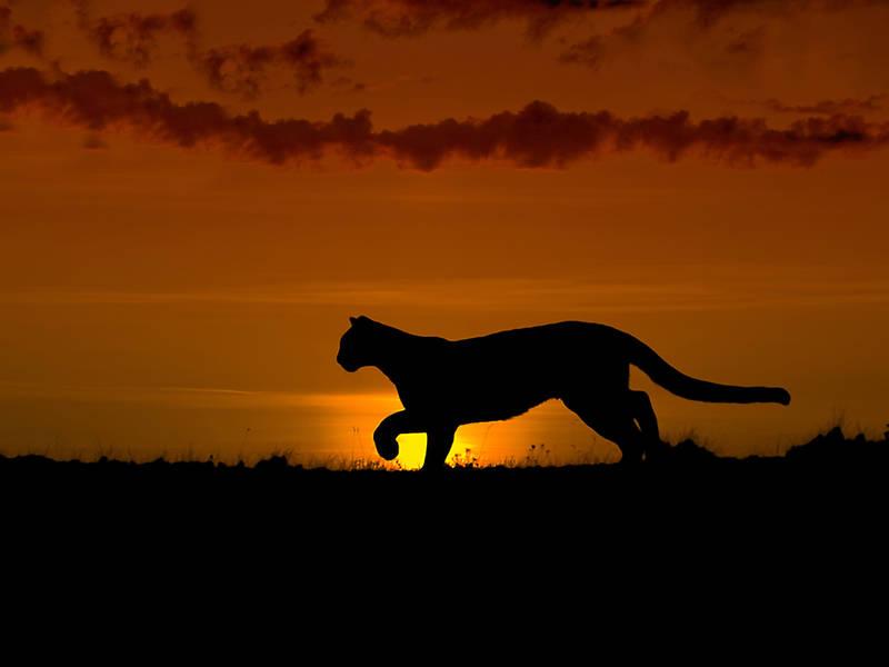 Cougar in brookfield wi