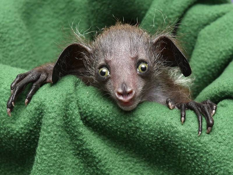 Aye-aye Lemur (Daubentonia madagascariensis)   Island of