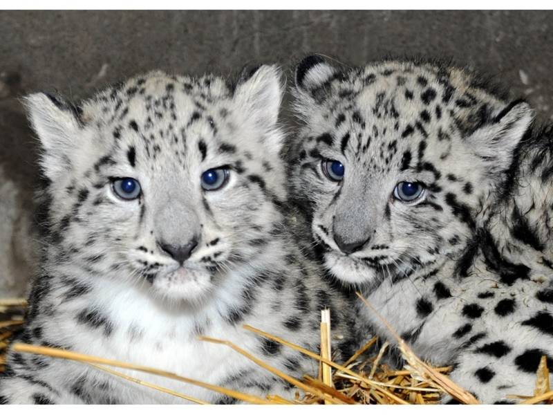Adorable Snow Leopard Cubs Debut At The Zoo