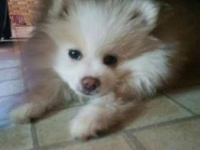 Bed stuy missing dog pomeranian puppy named napoleon for Bed stuy fish fry nostrand ave