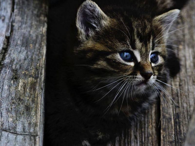 cost of declaw kitten