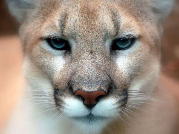 cougars in nashville