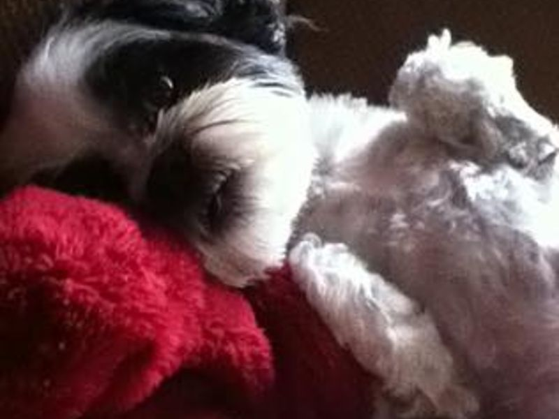 Another dog grooming death in ri this time daisy a maltese mix another dog grooming death in ri this time daisy a maltese mix solutioingenieria Gallery