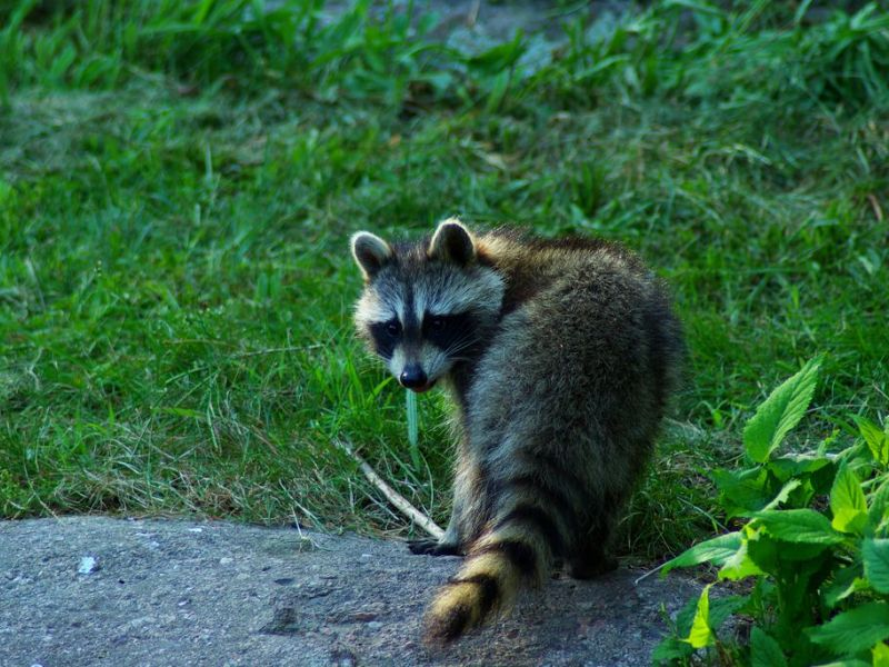 Rabid Raccoon Could Be On The Loose In Washington Township ... Raccoon With Rabies Foaming