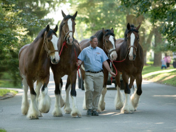 Budweiser Clydesdales Performing Friday, Saturday At Devon Horse Show