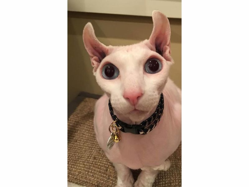 White Hairless Patch On Cat