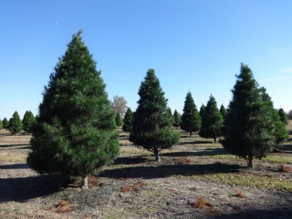 Where To Get A Christmas Tree In Marblehead