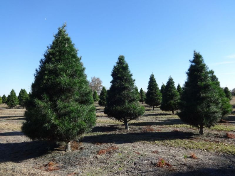 Christmas Trees Massachusetts