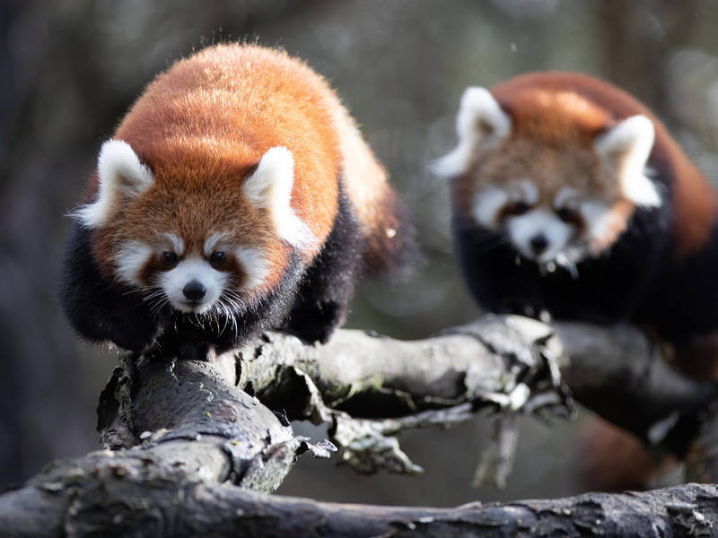 Baby Red Pandas Escape Zoo Enclosure In Seattle Seattle Wa Patch