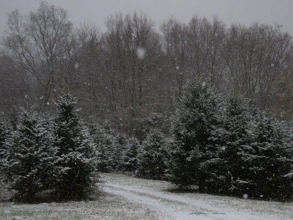 CHRISTMAS TREES  U CUT Or TAG ...