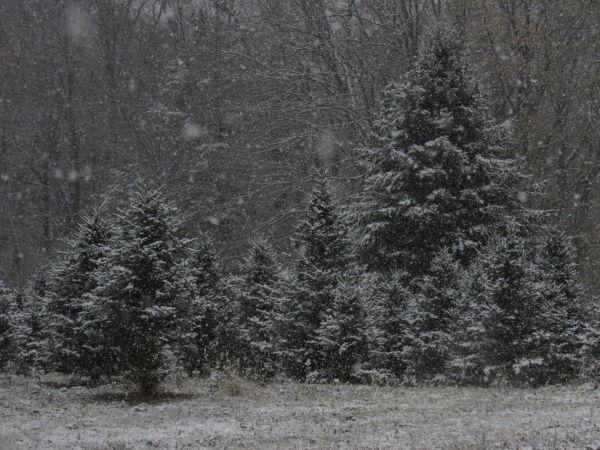 ... CHRISTMAS TREES  U CUT Or TAG ...