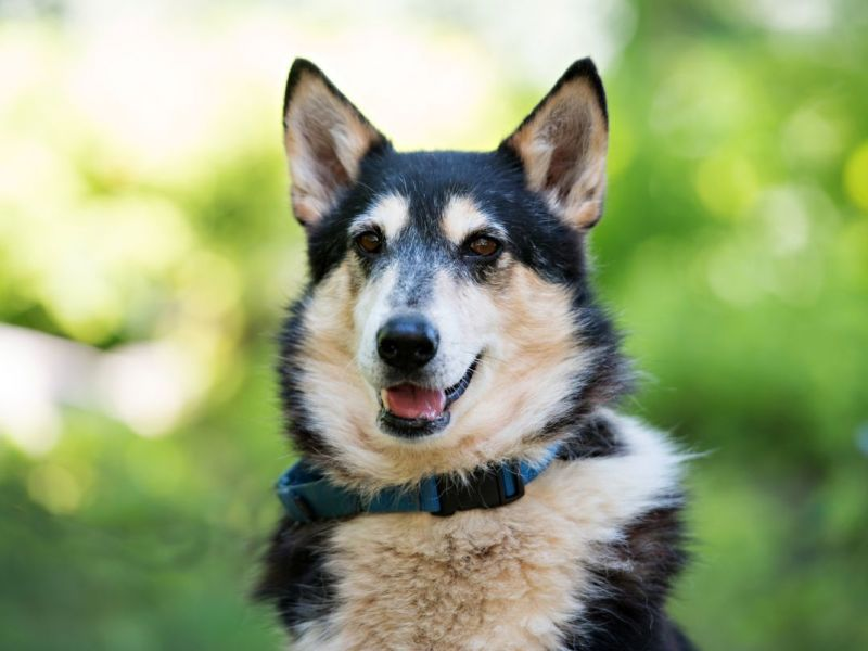 Husky Dogs For Adoption In Ct