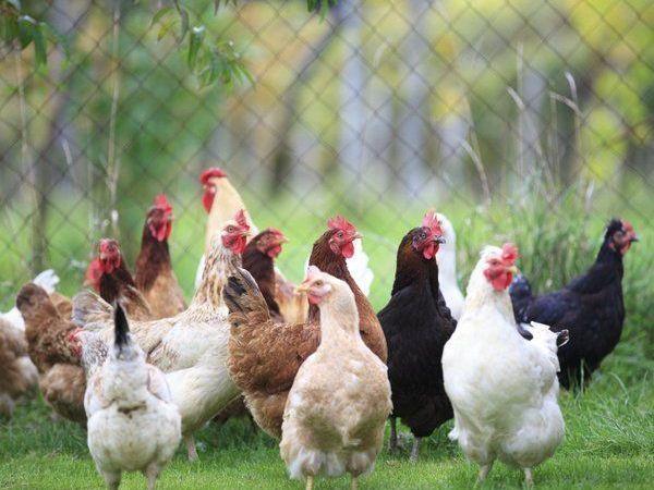 Bird flu confirmed in two poultry flocks in north Alabama