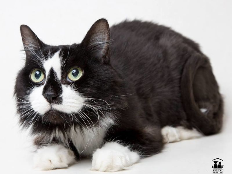 international cat day fairfax county cats in need of