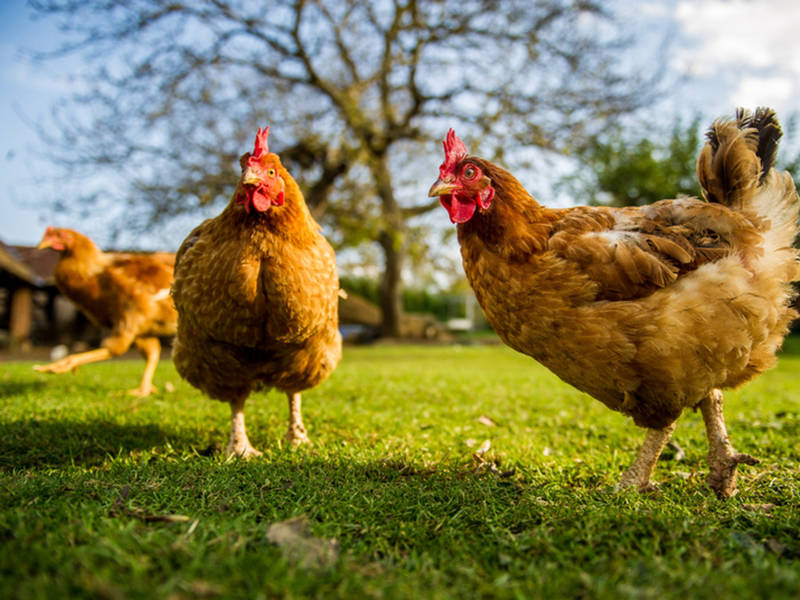Live Poultry Market Proposal Makes Progress In Alexandria Old Town