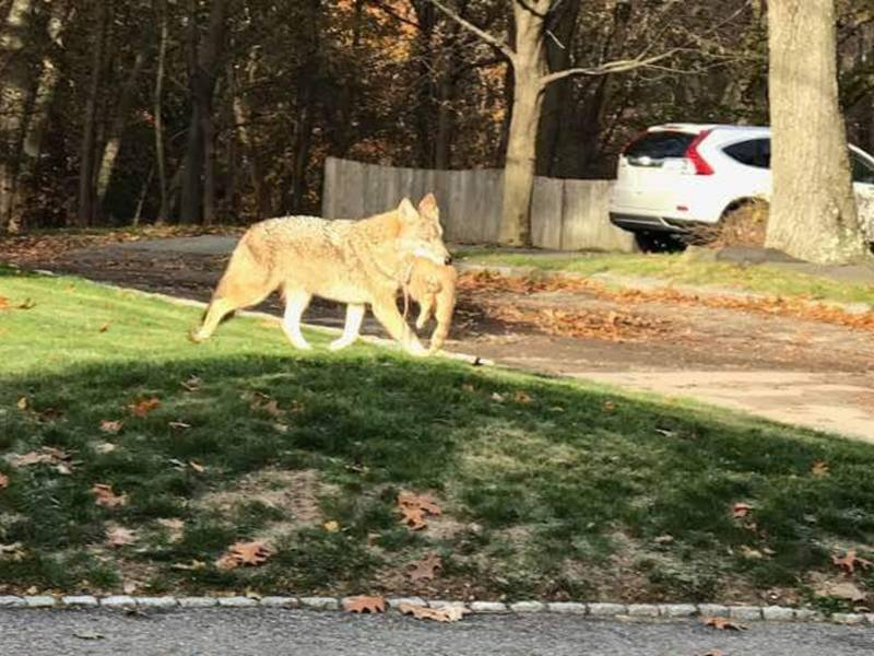 Coyote Spotted With Cat In Mouth In Newton: Here's What To ...