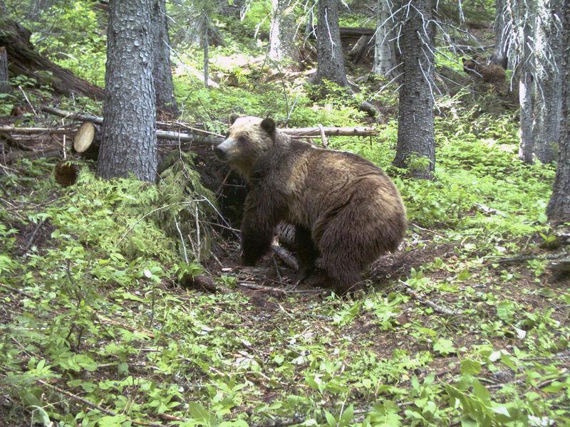 Cabinet Yaak Grizzlies In Montana, Idaho, To Keep U0027Endangeredu0027 Label