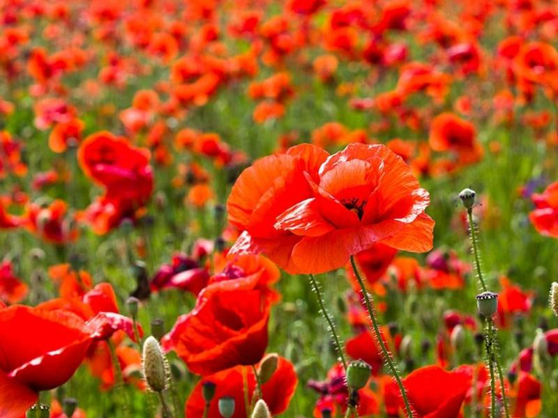 American Legion Post 180 Encourages You To Wear A Red Poppy Vienna