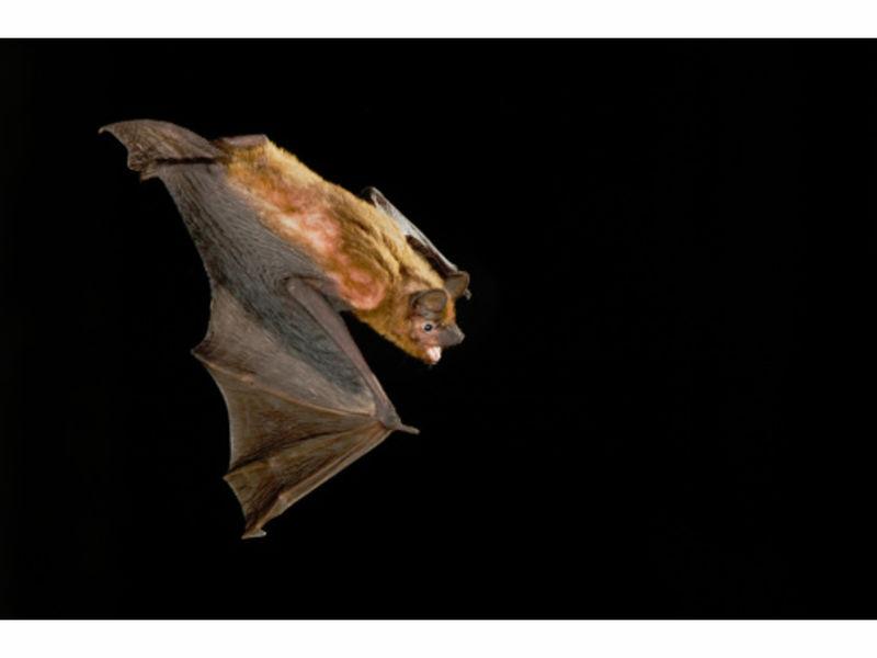 rabid bat bites houston woman at apartment complex parking garage midtown houston tx patch. Black Bedroom Furniture Sets. Home Design Ideas