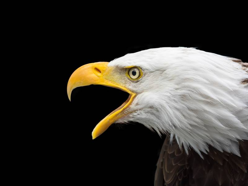 nine bald eagles spotted at first count of winter season banning
