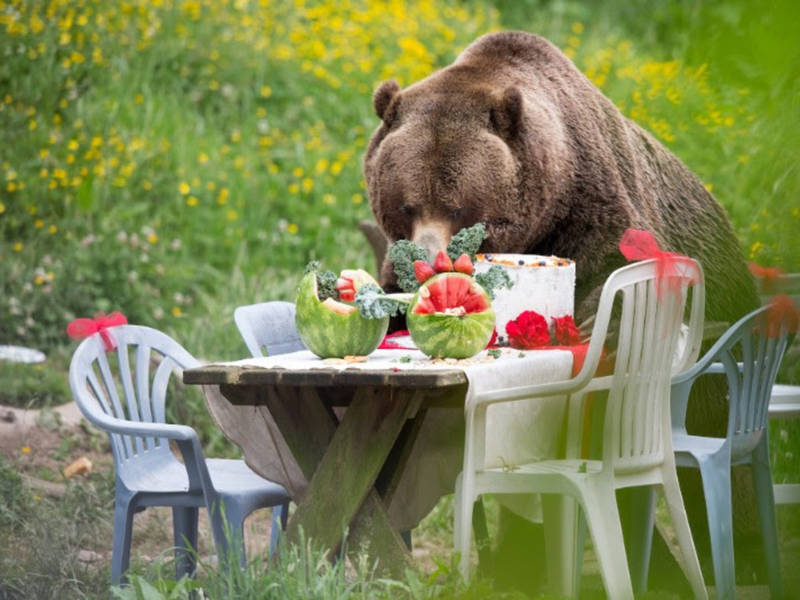 Watch 2 Grizzly Bears Destroy A Picnic On The Day Of