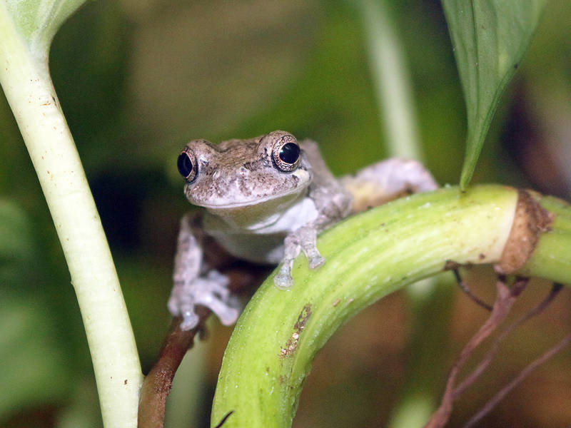 Maritime Aquarium Seeking Volunteers For Frog Watch