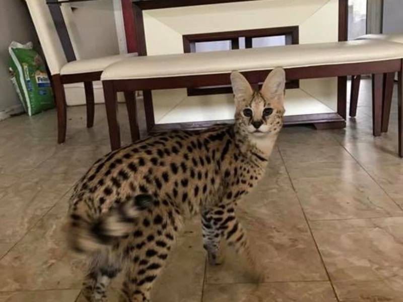 African Serval Cat Loose In Pelham