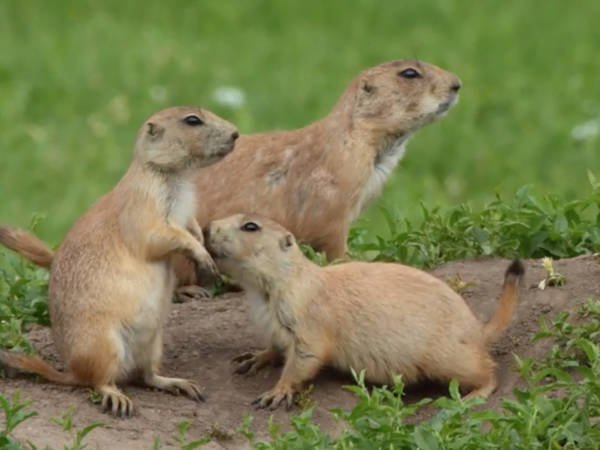 Prairie Dog Rescuers At Work on Front Range