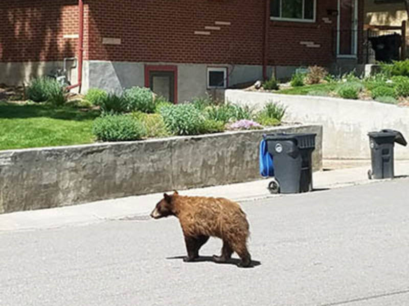Bear Country Humans Must Help Keep Animals Wild Agent