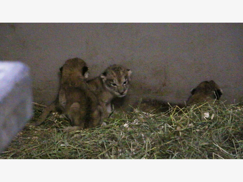 Blank Park Zoo Calendar : Lion cubs at iowa zoo need names any suggestions des