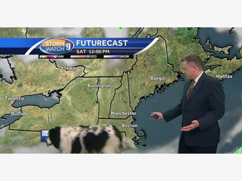 Dog Walks Through Live Weather Forecast In New Hampshire